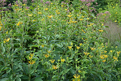 Henry Eilers Coneflower (Rudbeckia subtomentosa 'Henry Eilers') at Squak Mountain Nursery