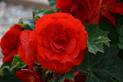 Nonstop® Deep Red Begonia (Begonia 'Nonstop Deep Red') at Squak Mountain Nursery