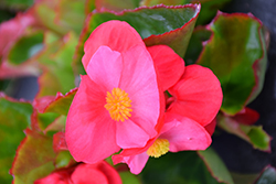 Big® Rose Green Leaf Begonia (Begonia 'Big Rose Green Leaf') at Squak Mountain Nursery