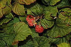 Raspberry Shortcake® Raspberry (Rubus 'NR7') at Squak Mountain Nursery