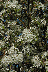 Chanticleer Ornamental Pear (Pyrus calleryana 'Chanticleer') at Squak Mountain Nursery