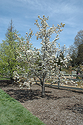 Chojuro Asian Pear (Pyrus pyrifolia 'Chojuro') at Squak Mountain Nursery