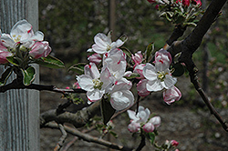 Gravenstein Apple (Malus 'Gravenstein') at Squak Mountain Nursery
