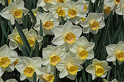 Salome Daffodil (Narcissus 'Salome') at Squak Mountain Nursery