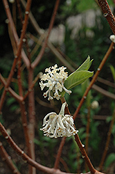 Oriental Paper Bush (Edgeworthia chrysantha) at Squak Mountain Nursery