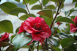 April Tryst Camellia (Camellia japonica 'April Tryst') at Squak Mountain Nursery