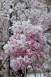 Double Pink Weeping Higan Cherry (Prunus subhirtella 'Pendula Plena Rosea') at Squak Mountain Nursery