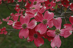 Cherokee Chief Flowering Dogwood (Cornus florida 'Cherokee Chief') at Squak Mountain Nursery