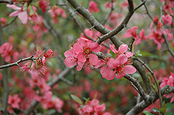 Pink Lady Flowering Quince (Chaenomeles x superba 'Pink Lady') at Squak Mountain Nursery