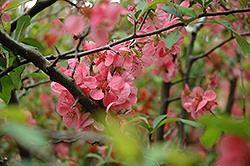 Nivalis Flowering Quince (Chaenomeles speciosa 'Nivalis') at Squak Mountain Nursery