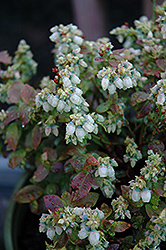 Jelly Bean® Blueberry (Vaccinium 'ZF06-179') at Squak Mountain Nursery