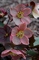 Pink Frost Hellebore (Helleborus 'COSEH 710') at Squak Mountain Nursery