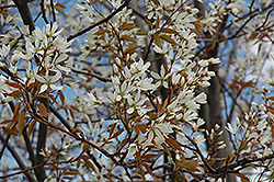 Autumn Brilliance Serviceberry (Amelanchier x grandiflora 'Autumn Brilliance (tree form)') at Squak Mountain Nursery