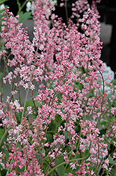 Oakleaf Foamflower (Tiarella 'Oakleaf') at Squak Mountain Nursery