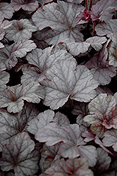Cinnabar Silver Coral Bells (Heuchera 'Cinnabar Silver') at Squak Mountain Nursery