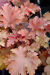 Zipper Coral Bells (Heuchera 'Zipper') at Squak Mountain Nursery
