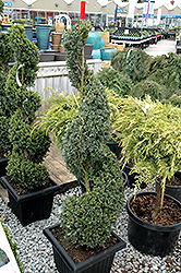 Green Mountain Boxwood (spiral form) (Buxus 'Green Mountain (spiral)') at Squak Mountain Nursery