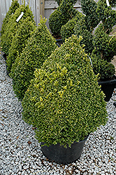 Green Mountain Boxwood (pyramid form) (Buxus 'Green Mountain (pyramid)') at Squak Mountain Nursery