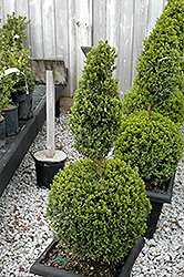 Green Mountain Boxwood (poodle form) (Buxus 'Green Mountain (poodle)') at Squak Mountain Nursery