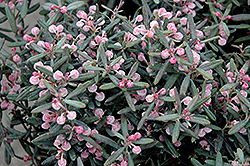 Blue Ice Bog Rosemary (Andromeda polifolia 'Blue Ice') at Squak Mountain Nursery