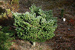 Silver Pearl Korean Fir (Abies koreana 'Silberperl') at Squak Mountain Nursery