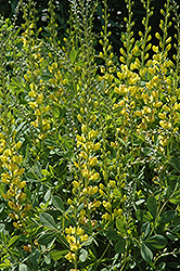 Solar Flare Prairieblues False Indigo (Baptisia 'Solar Flare Prairieblues') at Squak Mountain Nursery