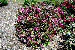 Polka Weigela (Weigela florida 'Polka') at Squak Mountain Nursery