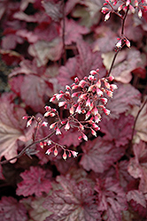 Berry Smoothie Coral Bells (Heuchera 'Berry Smoothie') at Squak Mountain Nursery