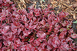 Cherry Tart Stonecrop (Sedum 'Cherry Tart') at Squak Mountain Nursery