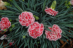 Coral Reef Pinks (Dianthus 'WP07OLDRICE') at Squak Mountain Nursery