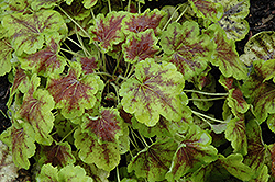 Solar Eclipse Foamy Bells (Heucherella 'Solar Eclipse') at Squak Mountain Nursery