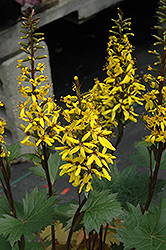 Little Rocket Rayflower (Ligularia 'Little Rocket') at Squak Mountain Nursery