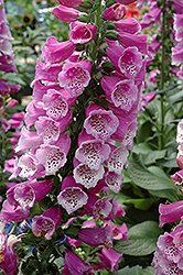 Dalmatian Purple Foxglove (Digitalis purpurea 'Dalmatian Purple') at Squak Mountain Nursery