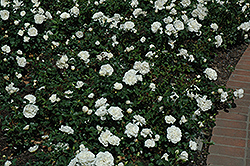 White Meidiland® Rose (Rosa 'Meicoublan') at Squak Mountain Nursery