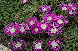 Stardust Ice Plant (Delosperma 'Stardust') at Squak Mountain Nursery