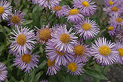 Azure Fairy Fleabane (Erigeron speciosus 'Azure Fairy') at Squak Mountain Nursery