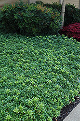 Green Sheen Japanese Spurge (Pachysandra terminalis 'Green Sheen') at Squak Mountain Nursery