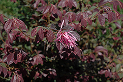 Sizzling Pink Chinese Fringeflower (Loropetalum chinense 'Sizzling Pink') at Squak Mountain Nursery