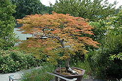 Baldsmith Japanese Maple (Acer palmatum 'Baldsmith') at Squak Mountain Nursery