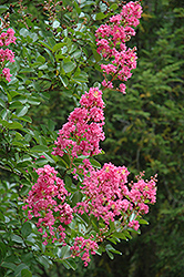 Hopi Crapemyrtle (Lagerstroemia 'Hopi') at Squak Mountain Nursery