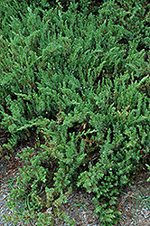 Shore Juniper (Juniperus conferta) at Squak Mountain Nursery