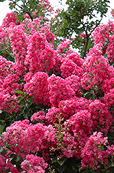 Seminole Crapemyrtle (Lagerstroemia indica 'Seminole') at Squak Mountain Nursery
