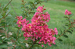 Comanche Crapemyrtle (Lagerstroemia 'Comanche') at Squak Mountain Nursery