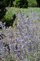 Lacey Blue Russian Sage (Perovskia atriplicifolia 'Lacey Blue') at Squak Mountain Nursery