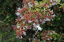 Frances Mason Abelia (Abelia x grandiflora 'Frances Mason') at Squak Mountain Nursery
