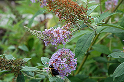 Lochinch Butterfly Bush (Buddleia 'Lochinch') at Squak Mountain Nursery