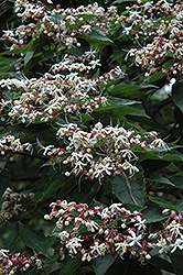 Harlequin Glorybower (Clerodendrum trichotomum) at Squak Mountain Nursery
