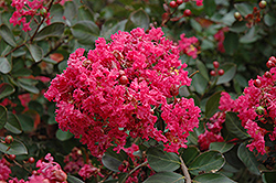 Red Filli Crapemyrtle (Lagerstroemia indica 'Red Filli') at Squak Mountain Nursery