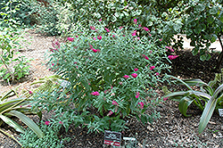 Miss Ruby Butterfly Bush (Buddleia davidii 'Miss Ruby') at Squak Mountain Nursery