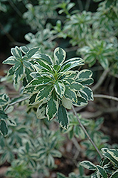 Variegated Chinese Mock Orange (Pittosporum heterophyllum 'Variegatum') at Squak Mountain Nursery